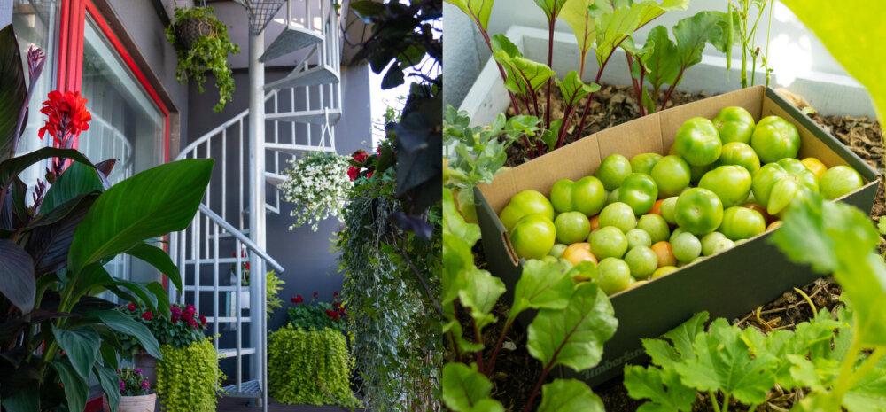 ФОТО | Мечтаете о зеленом балконе? Смотрите замечательные идеи оформления на примере лучших балконов Ласнамяэ