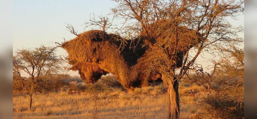 Linnud, kelle ehitamiskirg murrab puid tonni kaaluvate pesadega