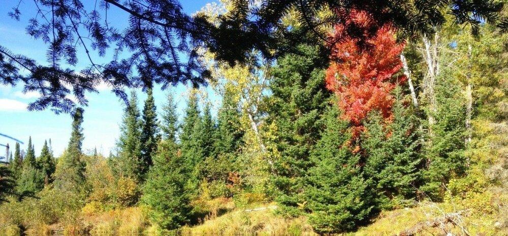 Сажаем ель по осени: уход и способы размножения хвойных