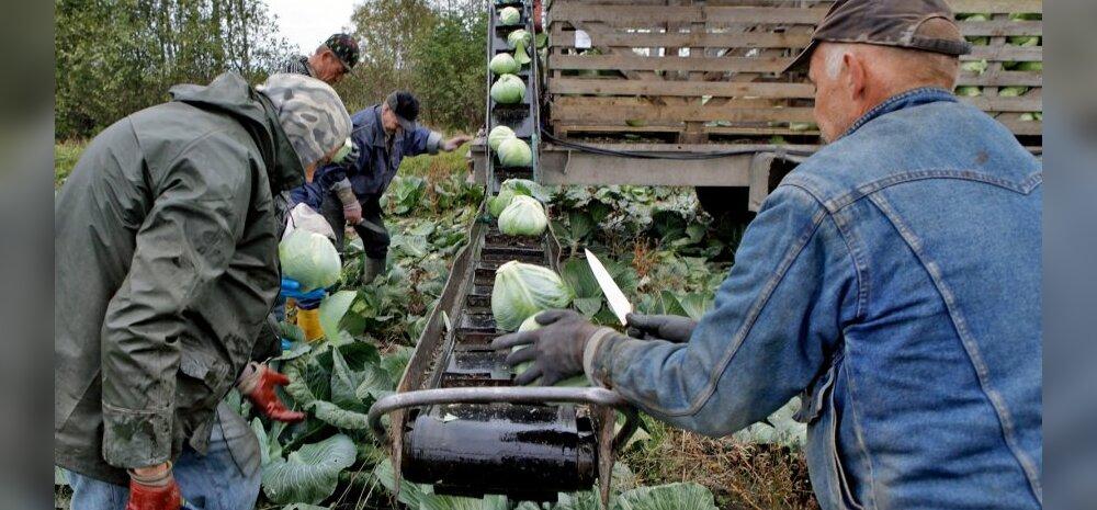 Kapsa koristamine AS Sagro põllulult