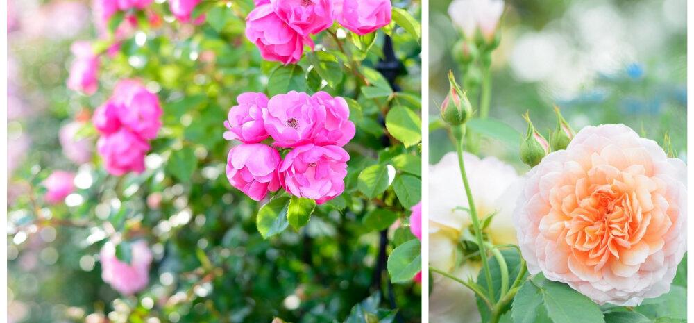 Королева сада или универсальное растение? Украшаем участок розами