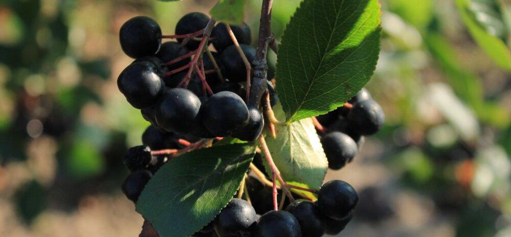 Kodumaine supertoit: vitamiinirikkad arooniamarjad on korjamiseks valmis