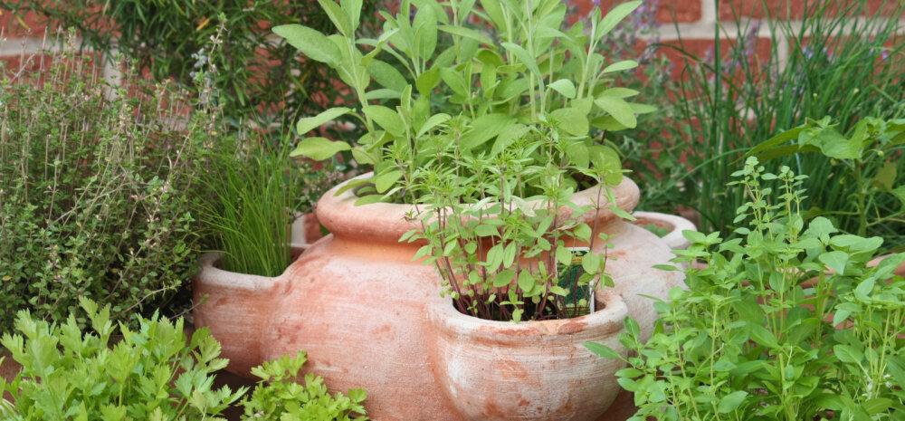 Söödavad taimed, mida võib edukalt kasvatada ka rõdul või aknalaual