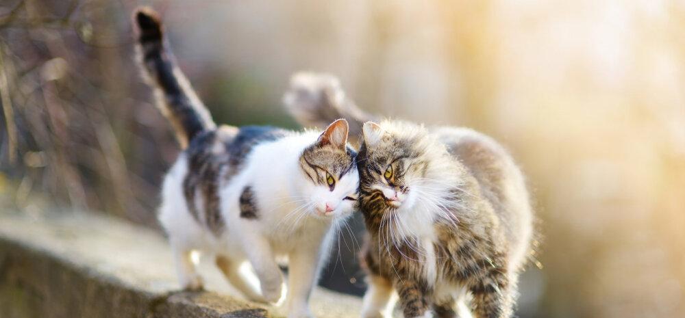 Üllatavad viisid, miks kass nurrub: teadus on näidanud, et kassi nurrumine on lausa füüsiliselt kasulik