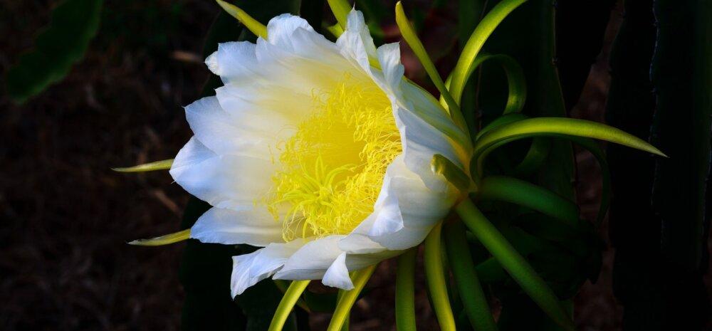 Девять удивительных цветов, цветущих лишь ночью. Они просто завораживают...