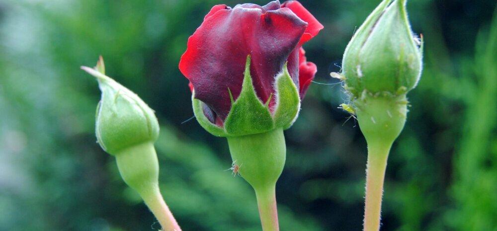 НА ЗАМЕТКУ │ Тля атаковала розы? Делимся проверенным рецептом