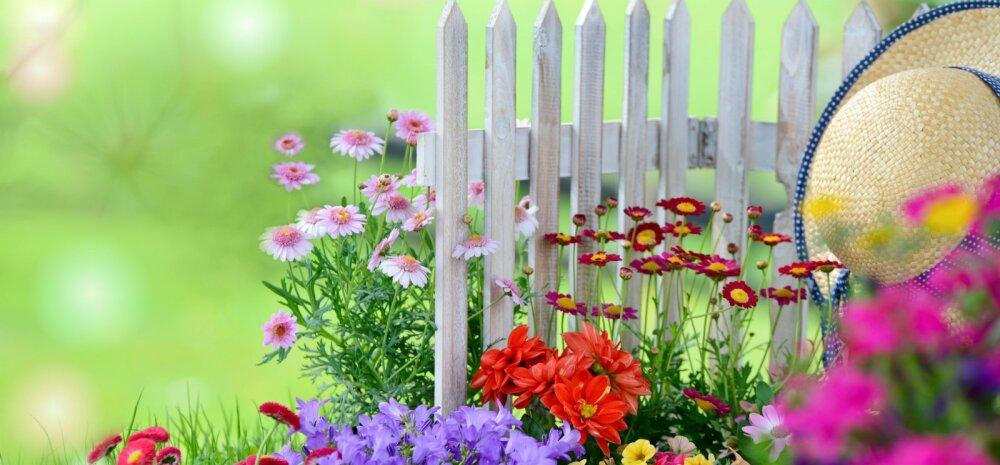 Aednik24.ee annab nõu: suvelilli võib hakata väetama kui nende istutamisest on möödas kolm-neli nädalat.