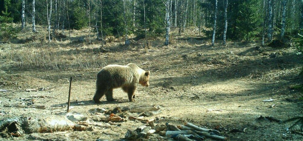 Karu Harjumaal Nahe jahiseltsi maadel, kus tänavu liigub jahimeeste kinnitusel vähemalt tosin mesikäppa.