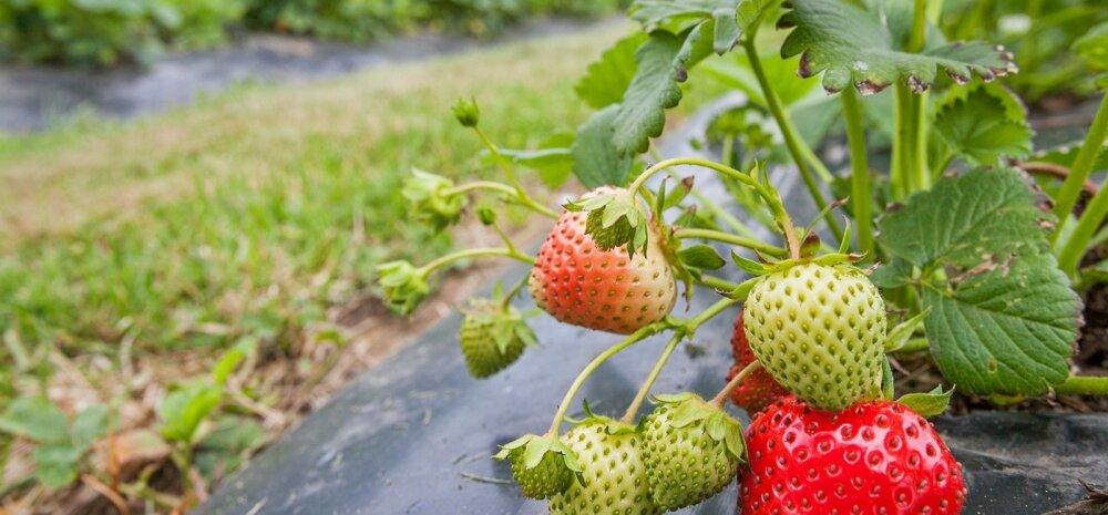 Marjakasvataja lubab: jaanipäevaks saab Eesti maasikaid