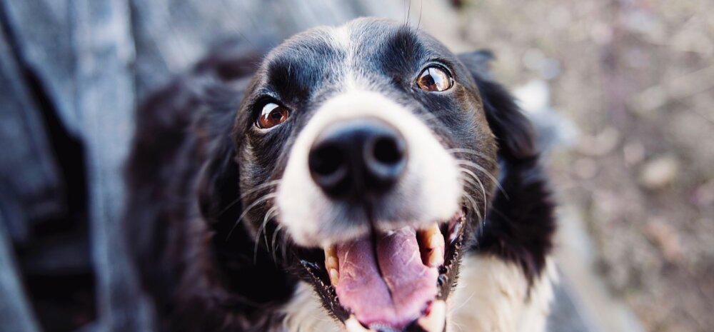 """Koer """"kargab"""": miks minu koer seda teeb ja kuidas probleemist vabaneda?"""