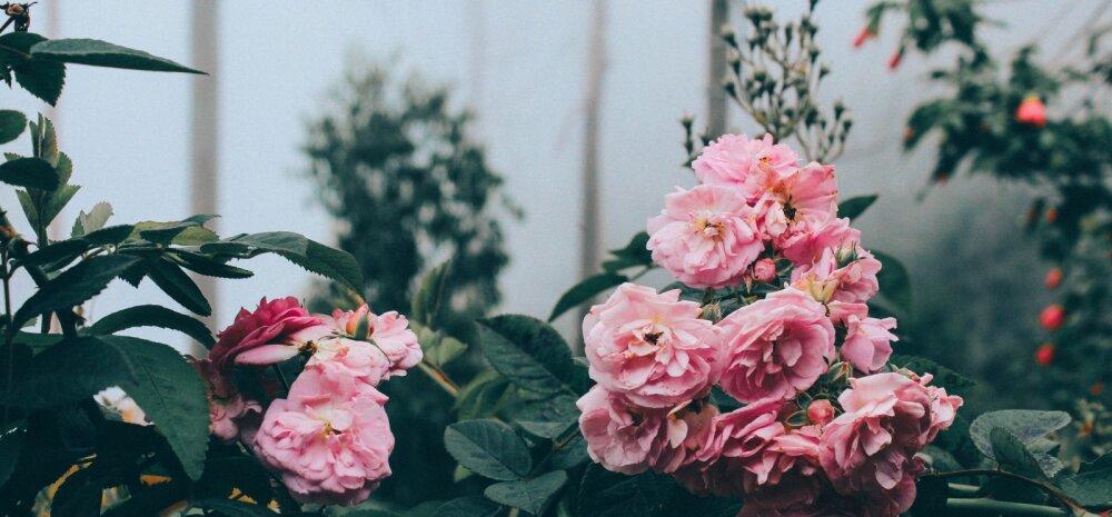 Mida tasuks teada rooside sügisesest hooldamisest ja talveks katmisest?