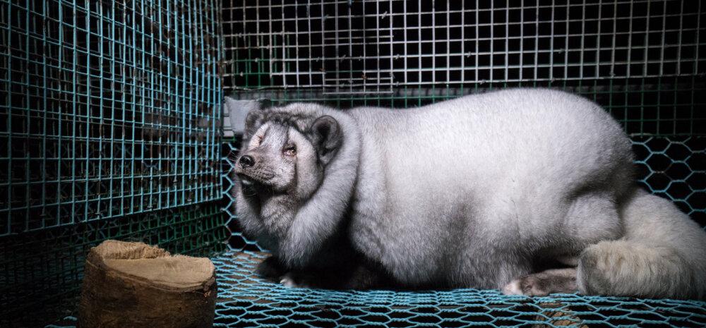 Šokeerivad kaadrid | Soomet survestatakse lõpetama õõvastav rebaste aretustegevus karusnaha tootmiseks