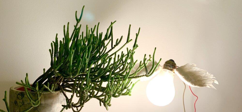 Taimed lambi alla — aga millise?