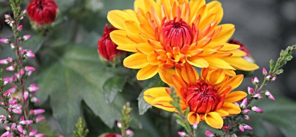 НА ЗАМЕТКУ | Хризантема: как сохранить королеву осени