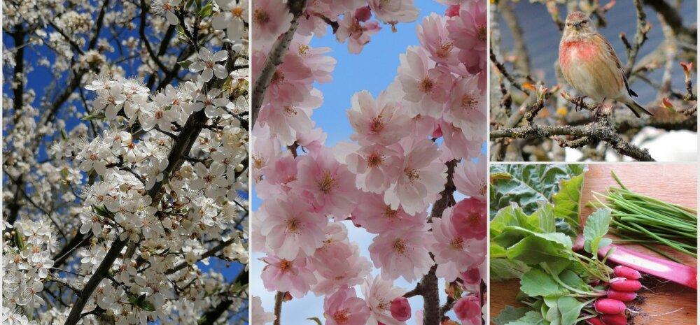 AIAHOOLIKU BLOGI | Pisut tomatitargutusi, lille- ja linnujuttu