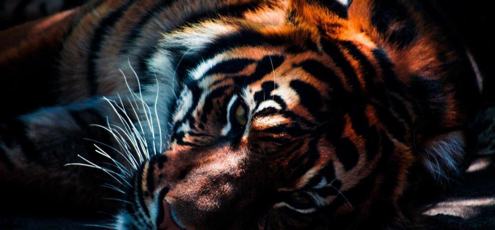 RAHVUSVAHELINE TIIGRIPÄEV   loomaaed kutsub külla