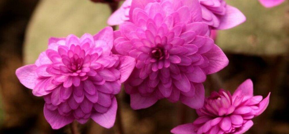 ФОТО | Яркие и красочные: в коллекционном саду в Кокнесе вовсю цветут разноцветные перелески
