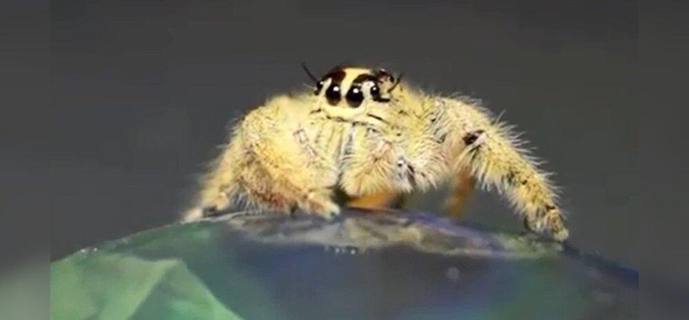 Usu või ära usu, aga see pehme suursilmne olevus siin on ämblik