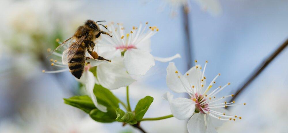 Kui pole mesilasi, pole planeedil enam elu — seitse tõhusat viisi, kuidas muuta oma aed mesilastele sõbralikumaks kohaks