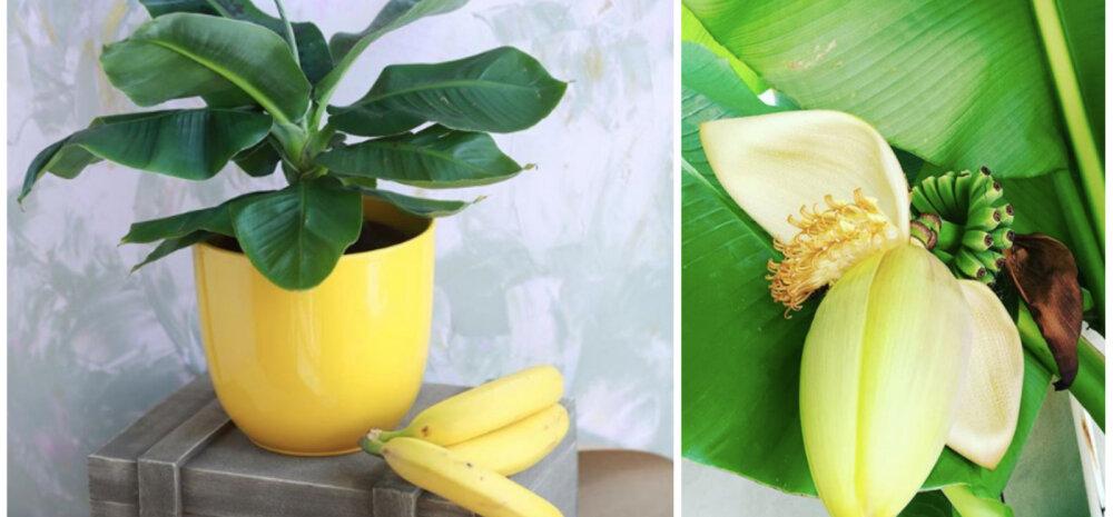 Комнатный банан — как вырастить тропическое чудо у себя дома
