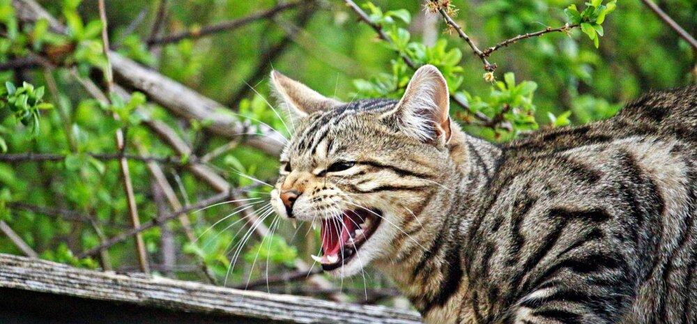 Kass sisiseb omaniku või pereliikme peale: mida see tähendab ja kas see on ohtlik?