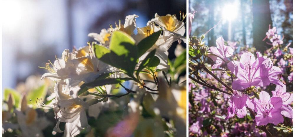 FOTOD │ 256 liiki õitsvaid rododendroneid Baltikumi suurimas rodopargis