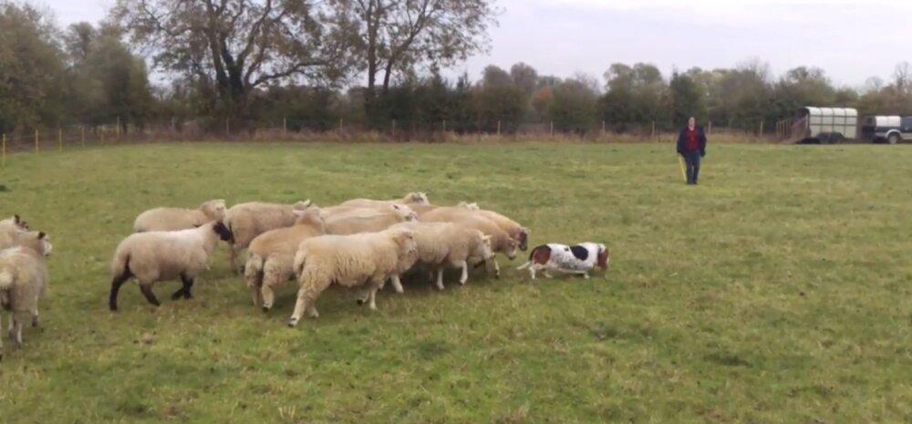VIDEO   Traumaatilise minevikuga maailma kõige haruldasem lambakoer peitis endas salajast talenti