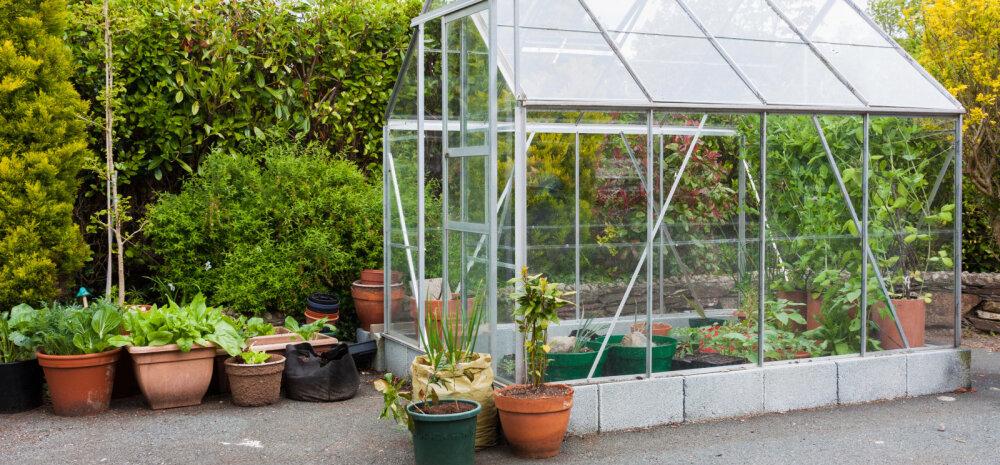 Mida kasvuhoones kasvatada — millised taimed sobivad kokku, milliseid on parem kasvatada eraldi?
