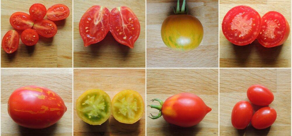 AIAHOOLIKU BLOGI | Lemmikutest tomatisortidest, mida ka järgmisel aastal kasvuhoones kasvatada