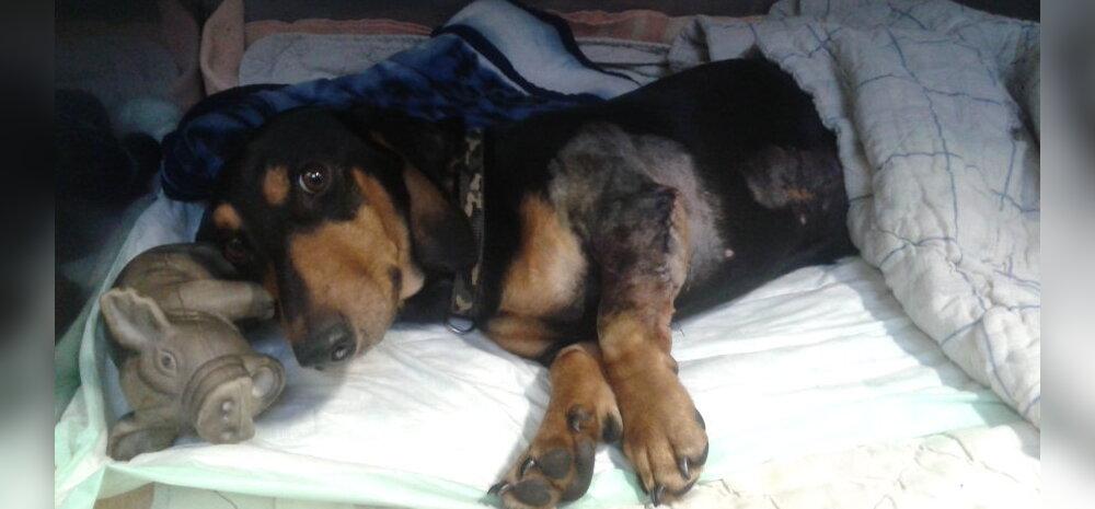 FOTO: Taksikoer Pruno operatsioon läks edukalt ja täna tegi koer esimesed sammud!