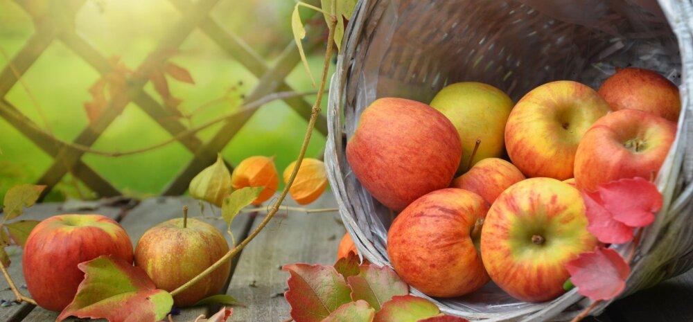 Что делать с опавшими незрелыми яблоками? 4 полезных способа от них избавиться