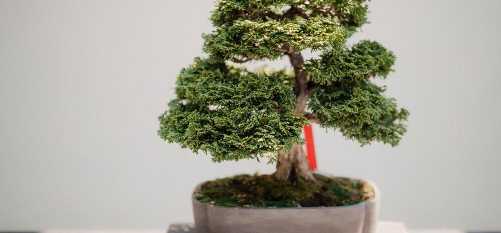Üldised tõed — kuidas hooldada bonsaid?