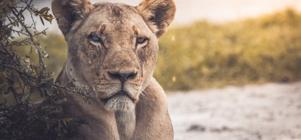 Päikesemärgid: Lõvi loomulik eesmärk on olla tähelepanu keskmes ja esindada loovuse ja armastuse allikat meie südames