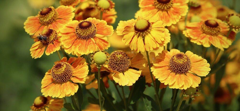 Здравствуй, сентябрь: 5 роскошных цветущих многолетников, которые скрасят неизбежный уход лета