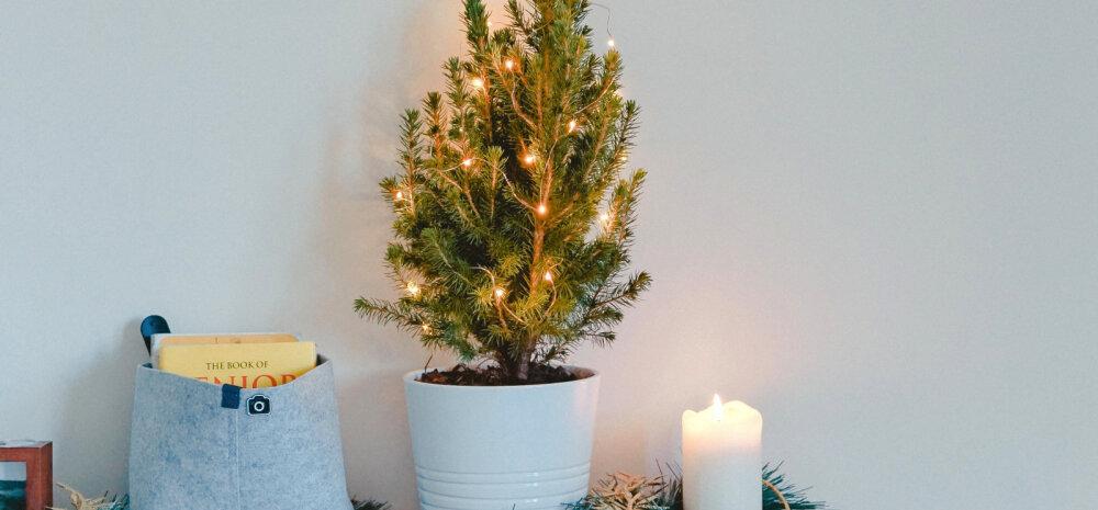Kui potis kasvab jõulupuu — kuidas õigesti hoolt kanda ja kas kevadel saab taime aeda istutada?