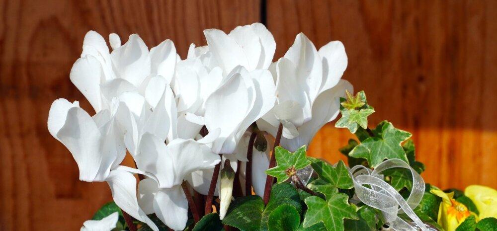Для вас, дамы! Какие комнатные растения привлекут женскую удачу, помогут найти мужчину и избавиться от одиночества