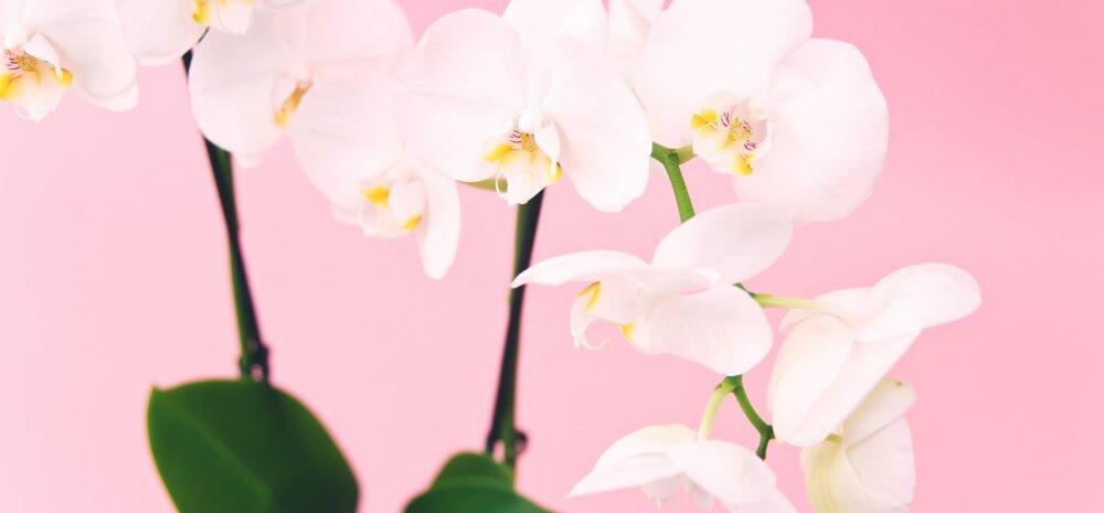 Орхидеи: 6 грубых ошибок в уходе, которые лучше не допускать