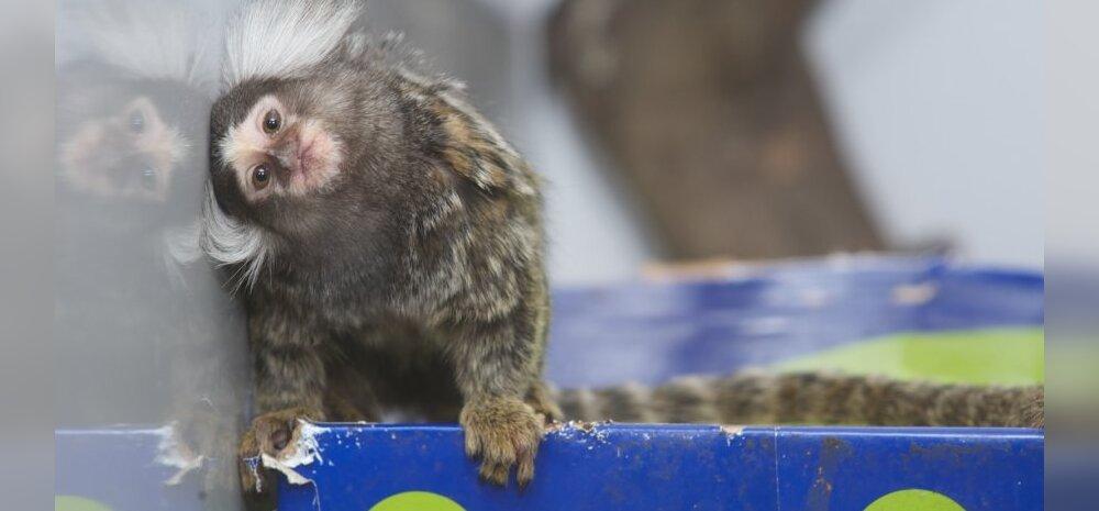 Klatšimoor: lapsevanemad, äkki on kätte jõudnud aeg ükskord ometi ärgata pimedast ahviarmastusest?
