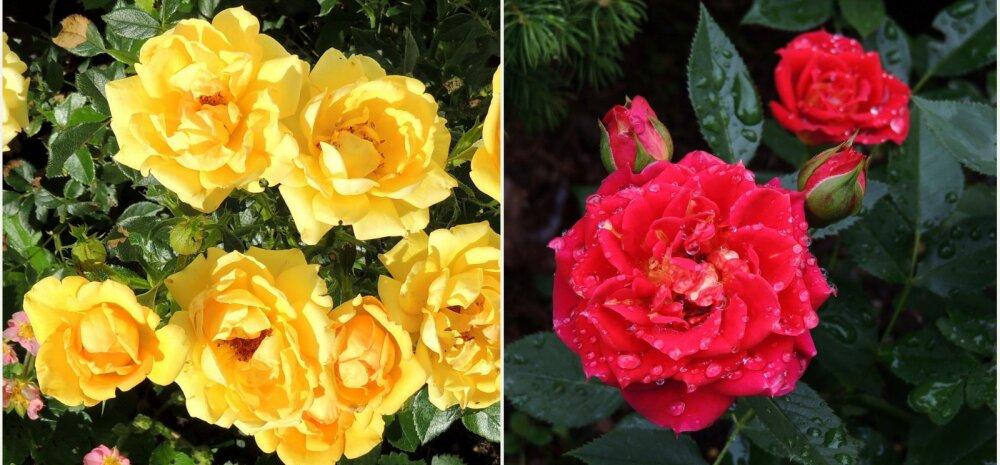 AIAHOOLIKU BLOGI | Peamiselt roosidest, veidi ka vihmast ja mesilinnumurust