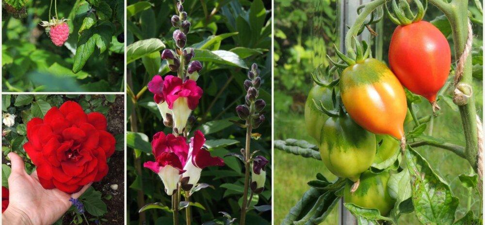 AIAHOOLIKU BLOGI | Aiamuredest, tomatitest ja lilledest