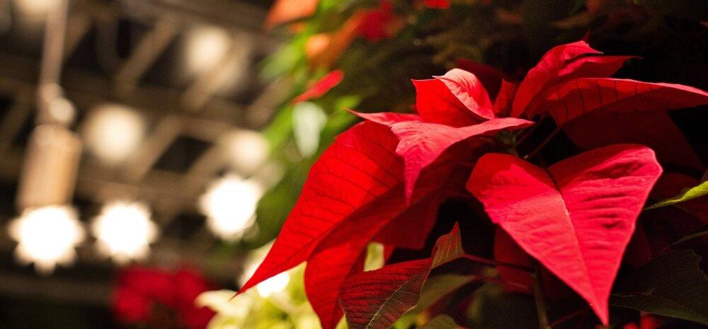 Центр по отравлениям: рождественские растения могут быть опасны