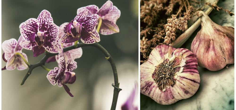ВИДЕО | Чеснок — спасение для орхидей: выращиваем сильное цветоносное растение