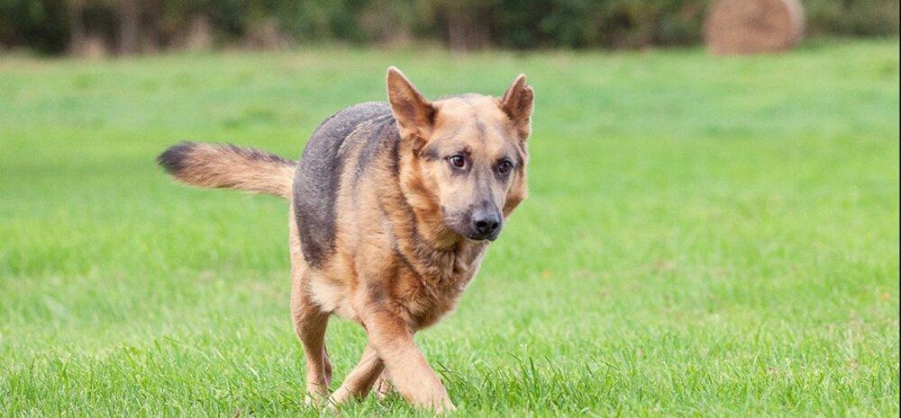 Väärkoheldud Hallikese lugu jõuab lõpusirgele: koer on suureks elumuutuseks viimaks valmis