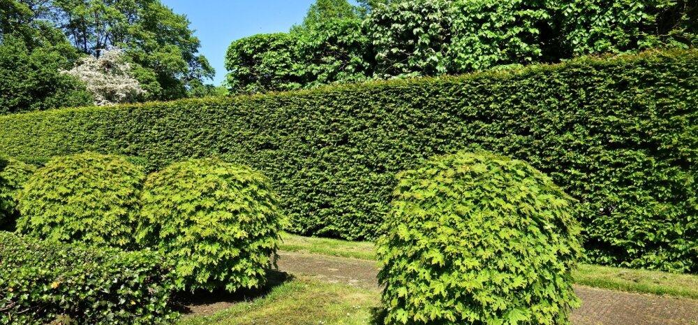 Soovitusi algajale aednikule: kuidas pügada hekki?