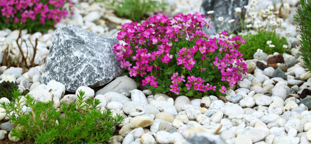 Kuidas rajada kaunis ja mitmekülgne kiviktaimla