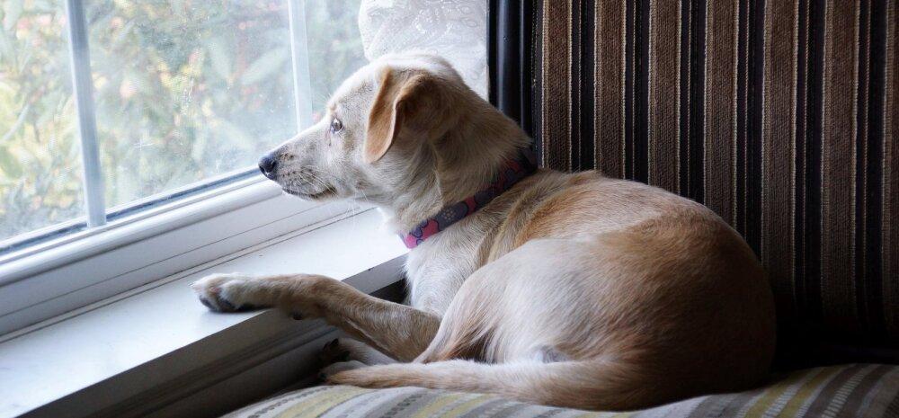 Seltsis segasem: kas minu koer on kurb ja vajab kaaslast?
