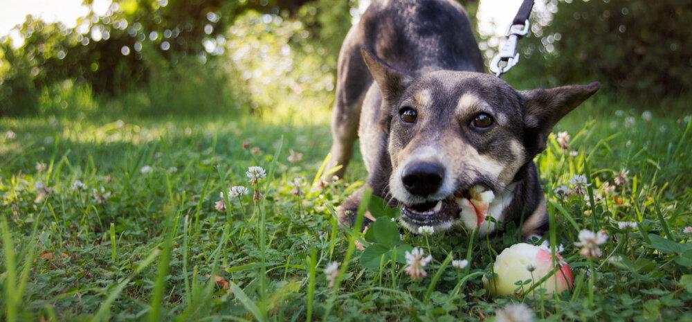 Uued sõbrad: Kikkis kõrvadega õunanina Volli ja tema perenaise Sirje lugu