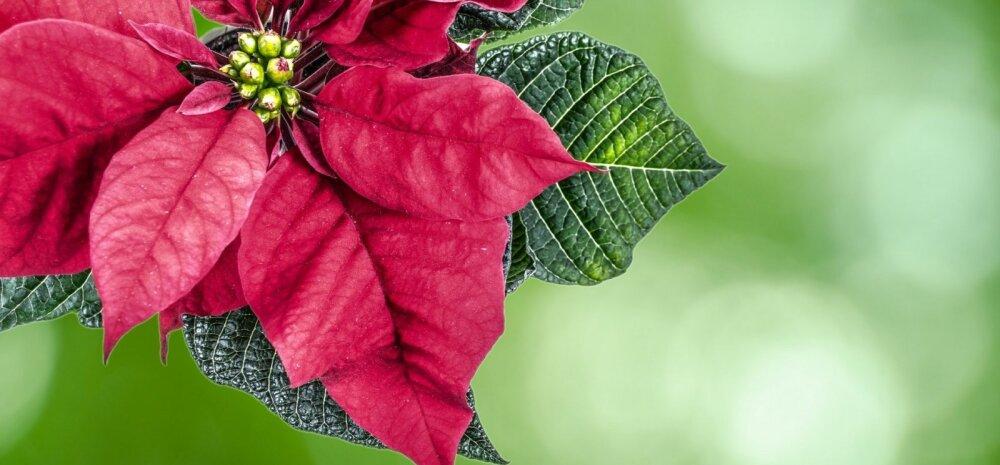 Не елкой единой: семь традиционных рождественских растений