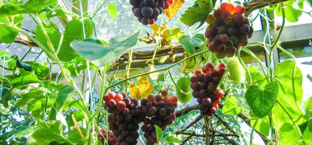 Jabur, kuid vaeva väärt idee — pane viinamarjad kasvuhoonesse kasvama!
