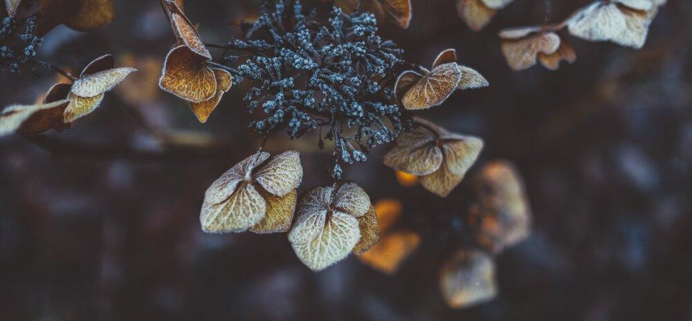 Novembrikuised taimetoimetused toas, aknalaual ja õues
